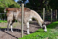 Adult llama in a farm Stock Images
