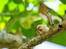 Adult long-tailed finch Stock Photos