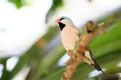 Adult long-tailed finch bird Royalty Free Stock Image