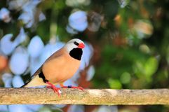 Adult Long-tailed finch bird Stock Photo