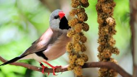Adult long-tailed finch bird eating Royalty Free Stock Image