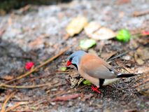 Adult Long-tailed finch bird walking Stock Image
