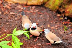 Adult Long-tailed finch birds Stock Images