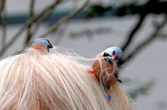Adult Long-tailed finch picking-up woman hair Stock Images