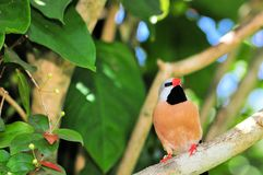 Adult Long-tailed Finch in tree Royalty Free Stock Photography
