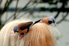 Adult Long-tailed finches picking-up woman hair Royalty Free Stock Photos