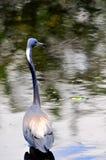 Adult Louisiana heron bird Royalty Free Stock Photography