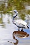 Adult Louisiana heron bird reflecting in water Stock Photo