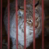 Adult lynx sits in a cage in the zoo. Lynx is one of the rarest species of mammals in the world Stock Image