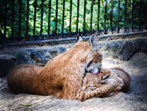 An adult lynx takes care of your baby. stock photos