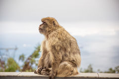 An adult macaque on the Gibraltar rock. Royalty Free Stock Images
