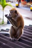 Adult macaque monkey sitting eating fruit Royalty Free Stock Image