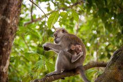 Adult macaque monkey sitting eating fruit Stock Image