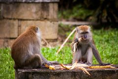 Adult macaque monkey sitting eating fruit Royalty Free Stock Photos