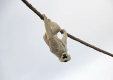 Adult Madagascar Lemur Monkey Hanging upside down from rope on a Cloudy Day. Madagascar Lemur primate monkey looking down hanging upside down from rope on a Stock Images