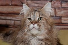 Adult maine coon cat close up. Royalty Free Stock Photos