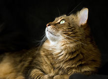 Adult maine coon cat looking left Stock Photography