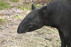 Adult malayan tapir (tapirus indicus). Moment of Adult malayan tapir (tapirus indicus) eatting food stock images