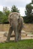 Adult male African elephant, Loxodonta africana Royalty Free Stock Photo