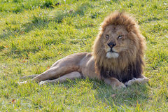 Adult male African lion lying on green grass. Adult male African lion lying in upright position in green grass field, looking intently forward Royalty Free Stock Images