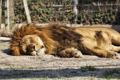 Lion. Adult male African lion resting Royalty Free Stock Images