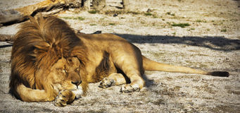 Lion. Adult male African lion resting Royalty Free Stock Image