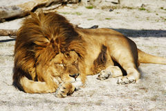 Lion. Adult male African lion resting Stock Photos