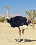 Adult male of African ostrich (Struthio camelus) Royalty Free Stock Photo