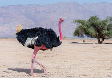 Adult male of African ostrich (Struthio camelus). African ostrich inhabits desert nature reserve not far from Eilat, Israel Stock Photos