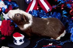 Patriotic American Guinea Pigs Cavia porcellus Royalty Free Stock Images