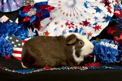 Patriotic American Guinea Pigs Cavia porcellus Stock Photography