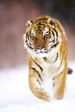 An adult male amur tiger is walking on the snow. Royalty Free Stock Images