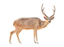 Axis deer isolated. Adult male axis deer isolated on white background Stock Images