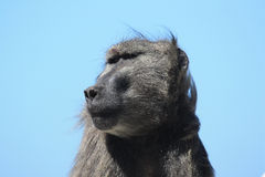 Adult male baboon looks towards the blue sky, Royalty Free Stock Images
