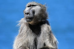 Adult male baboon sits on the shore of the sea. South Africa Royalty Free Stock Images