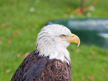 An Adult male Bald Eagle Royalty Free Stock Photo