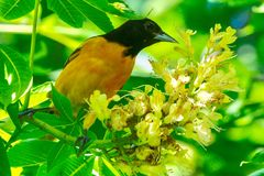 Adult Male Baltimore Oriole #1. This is a Spring picture of an adult male Baltimore Oriole in the blossoms in the Montrose Point Bird Sanctuary on Lake Michigan stock photos