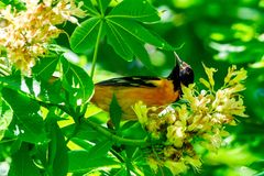 Adult Male Baltimore Oriole #2. This is a Spring picture of an adult male Baltimore Oriole in the blossoms in the Montrose Point Bird Sanctuary on Lake Michigan stock photos