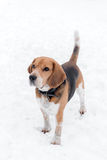 Adult male beagle outdoor Royalty Free Stock Photography