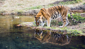 Adult male Bengal tiger Panthera tigris tigris. An adult male Bengal tiger Panthera tigris tigris studies his reflection in a pond of water Stock Photography