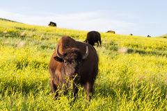 Adult male bison or bufalo Royalty Free Stock Image