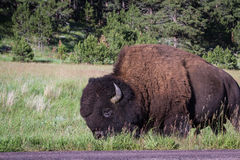 Adult male bison or bufalo Royalty Free Stock Photos
