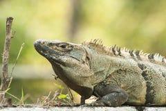 Adult Male Black Spiny-Tailed Iguana Royalty Free Stock Images