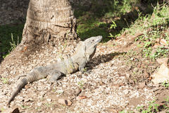 Adult Male Black Spiny-Tailed Iguana Royalty Free Stock Photography