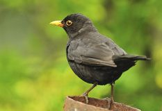 Adult male Blackbird (Turdus merula). An alert adult male Blackbird, seen at a feeding point Royalty Free Stock Photography