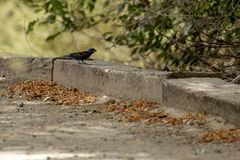 Blue grosbeak resting in the shade of a tree. Adult male blue grosbeak resting in the shade of a tree along a desert trail royalty free stock images
