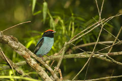 Adult Male Blue Manakin/Swallow-tailed Manakin. Perched on a branch in a tropical Argentinian jungle, this tiny, beautiful,red-capped male Blue Manakin, also Stock Photos