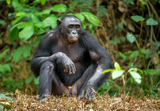 Adult male of Bonobo Stock Photo