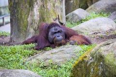 Adult male of Borneo orangutan Pongo pygmaeus Stock Photo