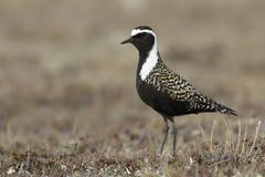 Amerikaanse Goudplevier, American Golden Plover, Pluvialis dominica royalty free stock photo